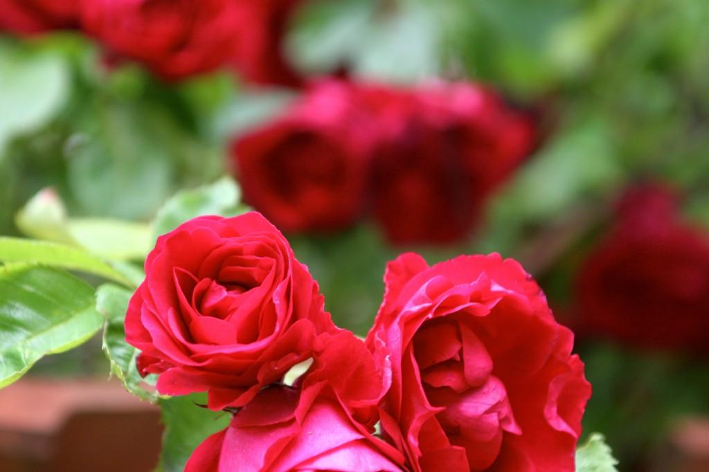 Intense_sommer_farver_rose